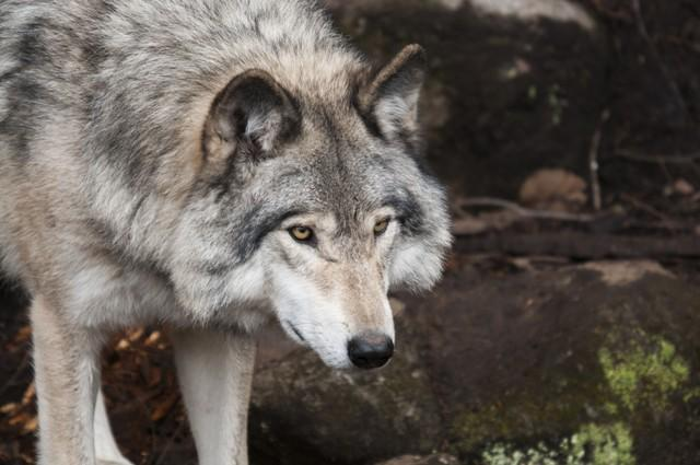 Najväčšia európska psovitá šelma