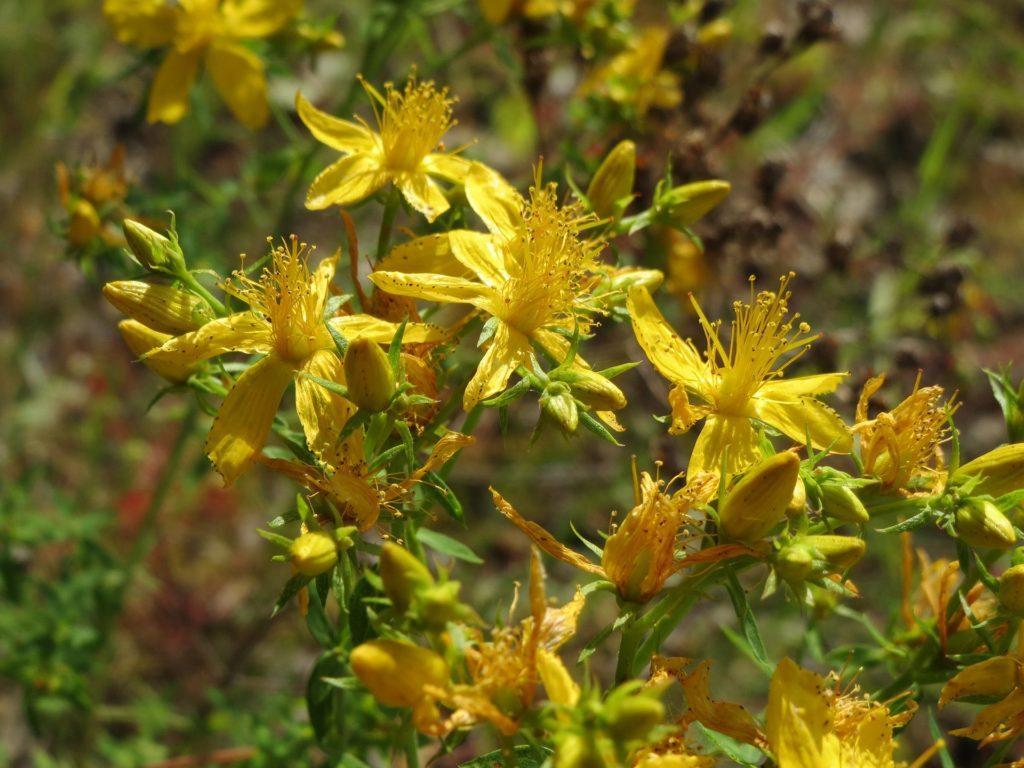 Liečivá rastlina našich lúk
